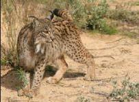 Decline in rabbit population links with Iberian lynx threat.jpg