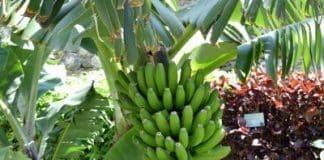 Madeira bananas popular in mainland Portugal.jpg