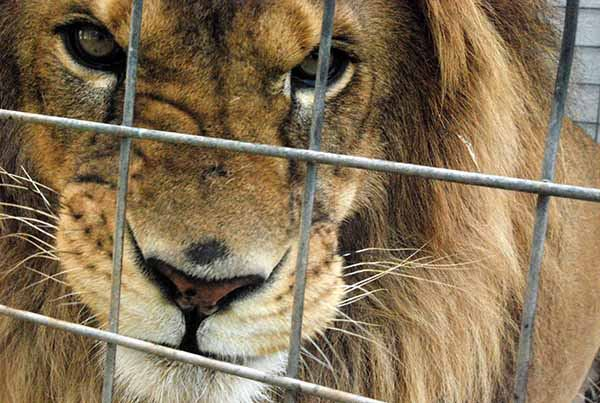 GNR apprehends lions in Lisbon