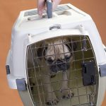 Pet transport: know your pet and find the best option
