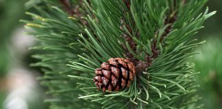 pine_cone.jpg