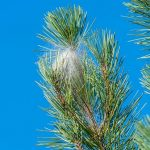 processionary-caterpillar-nest.jpg