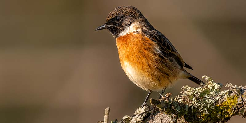 The stonechat: one of our most widespread residents