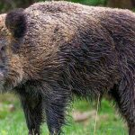 Wild boar very much out and about