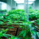 Tilray puts Cantanhede on European cannabis map