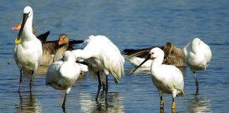 Keeping up with the Spoonbills