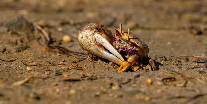 Male fiddler crab showing his major claw