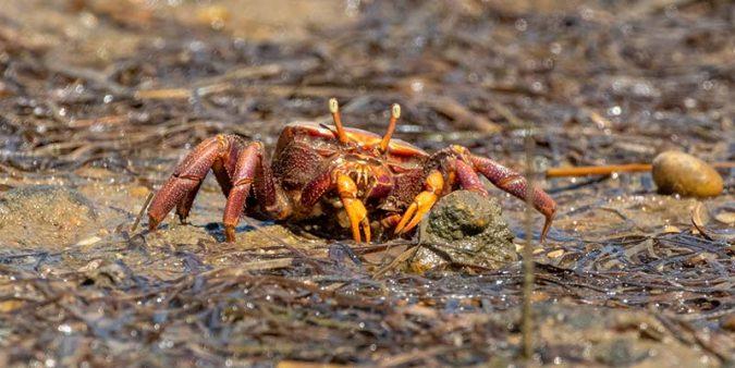 Female fiddler crab