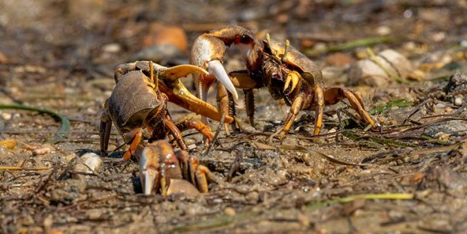 Male fiddler crabs in combat