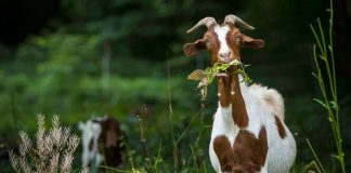 """Portugal's """"low-cost firefighting goats"""" featured in New York Times"""