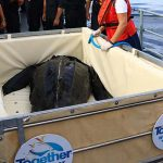 Rescued turtle returns to the sea after 49 days