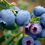 Blueberry production investment
