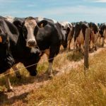 Chinese buy Portugal's largest cattle breeding business for 37.7 million euros