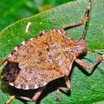 Stink bug alert warns Portugal of new scourge for agriculture