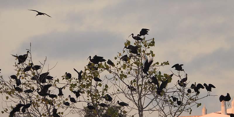 Glossy ibis remains faithful to Alagoas Brancas