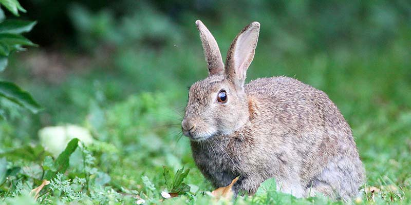 Rabbit now in danger of extinction - along with 30,000 other animals, birds and plants