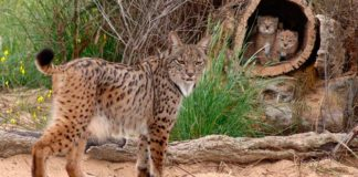 Government to create funding system for Iberian lynx centre in Silves
