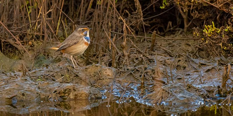 Male bluethroat