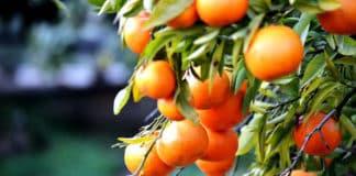 Tourism: Silves to unveil 'Orange Route' next week