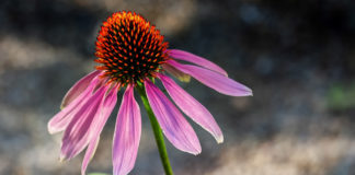 Myth-busting echinacea