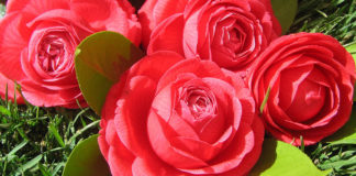 Stunning camellias to take centre stage in Monchique