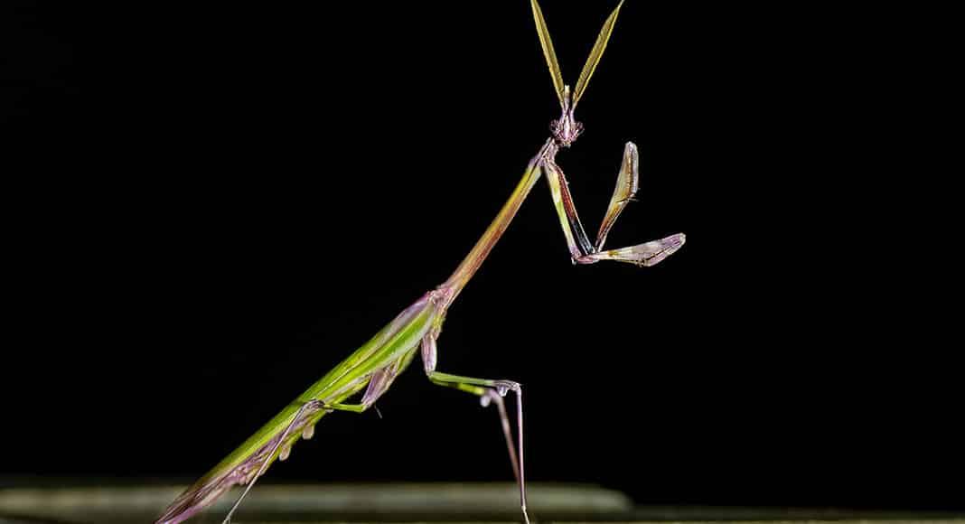 Male Conehead Mantis